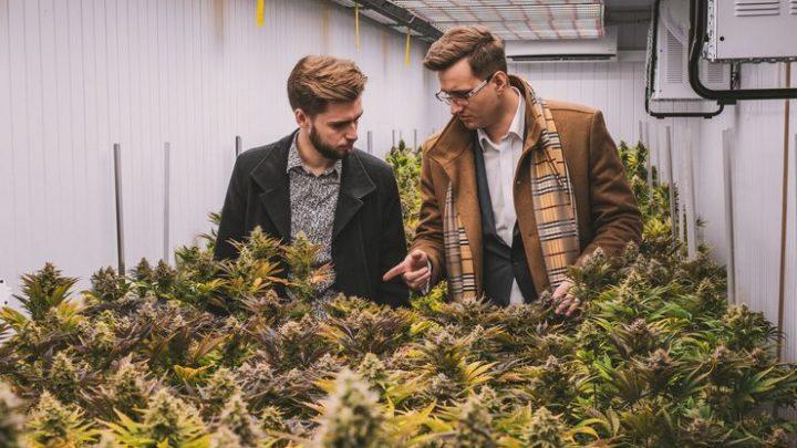 Dziś rusza emisja Cannabis Vera