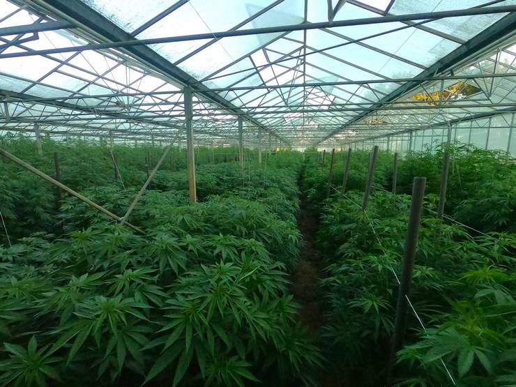 Freedom Farms – będzie kolejna emisja w branży konopnej